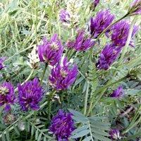 Астрагал эспарцетовый Astragalus onobrychis :: Raduzka (Надежда Веркина)