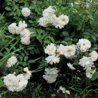 Белые розы :: Нина Бутко