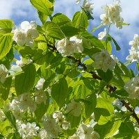 Цветёт чубушник :: Лидия Бусурина