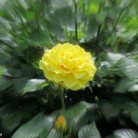 Жёлтая красавица :: Нина Бутко