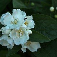 Уже цветет жасмин :: Светлана