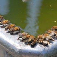 Пчёлы на водопое :: Владимир Зыбин