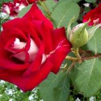 Роза красная моя . :: Мила Бовкун