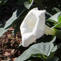 Крупные цветки дурмана с сильным сладким запахом :: Татьяна Смоляниченко