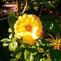 Жёлтая роза :: Владимир Бровко