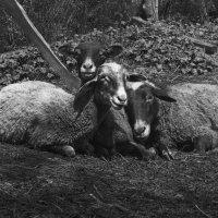 Овцы. :: Андрей