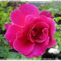 Дивная роза в саду :: Ольга Довженко