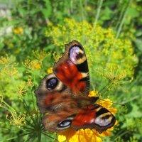 Бабочка Павлиний глаз :: Эля Юрасова