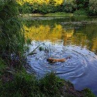 В мире животных: не водоплавающая, в воде стоящая, собачка :: Андрей Лукьянов