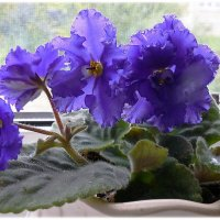 Цветут фиалки :: Любовь Чунарёва