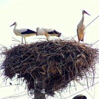 Гнездо под напряжением :: Игорь Сычёв