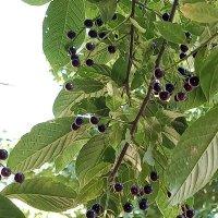 Совсем недавно ягоды черемухи.. :: Наталия П