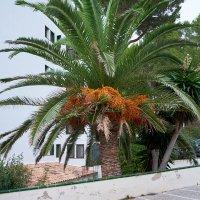 финиковая пальма :: Sergej
