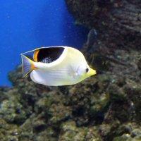 Седлоспинная рыба бабочка. :: Николай Николаевич