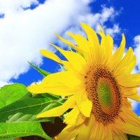 Sunflower :: Irene Farkh