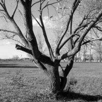 Дерево :: Марина Гаель