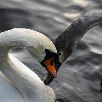 Те лебеди :: Valeriy(Валерий) Сергиенко