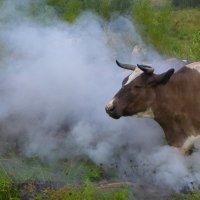 Обкуренная корова :: Сергей Шаврин