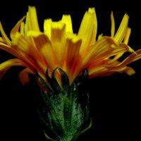 последний осенний цветочек :: Lilek Pogorelova