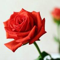 Красная роза :: Алина