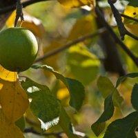 Последнее яблоко урожая 2013 :: Александр Земляной