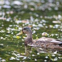 уточка на озере :: никита тихонов