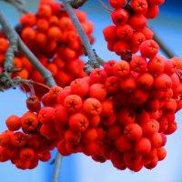 рябины гроздья красные :: Marina Timoveewa