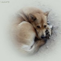 Собака :: sv.kaschuk