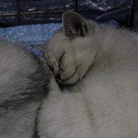 Спящий котенок :: Богдан Петренко