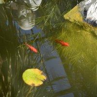 gold fish :: Mariolla Filonenko