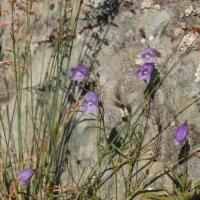 цветок у скалы :: Светлана Триянова
