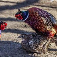 Ушастые фазаны полигамны :: Nn semonov_nn