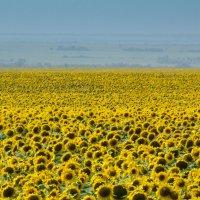 Солнечное поле. :: Алексей. Бордовский