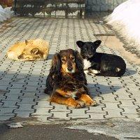Собаки :: Владимир Корольков