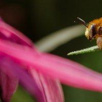 пчелка :: Александр Ермолов