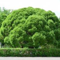 Дерево :: NICKIII Михаил Г.