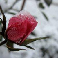 Замерзшая роза :: Анастасия Козьякова