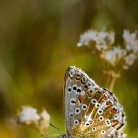 Мохнатенькая бабочка :: Дарья Казбанова