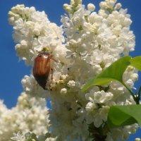 Майский жук :: Mariya laimite