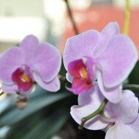 Орхидеи :: Вадим Гудин