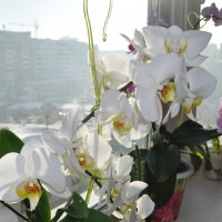 белая орхидея :: Вадим Гудин