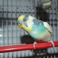 Попугай Гоша :: Маша Муха