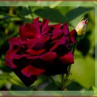 Роза красная :: Яков Геллер