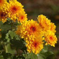 Осенние цветы :: Владимир Кроливец