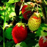 Земляничка - ягода :: Юрий