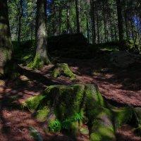 Старый лес :: Евгений +