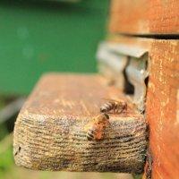пчела :: Андрей Петренко