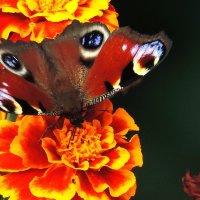 Летние зарисовки. Бабочка. :: Геннадий Александрович