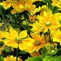 Желтые цветы :: Ольга Иргит