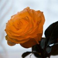 Жёлтая роза :: Светлана